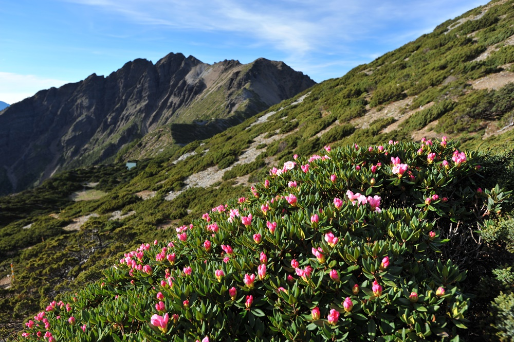 Yushan rhododendrons
