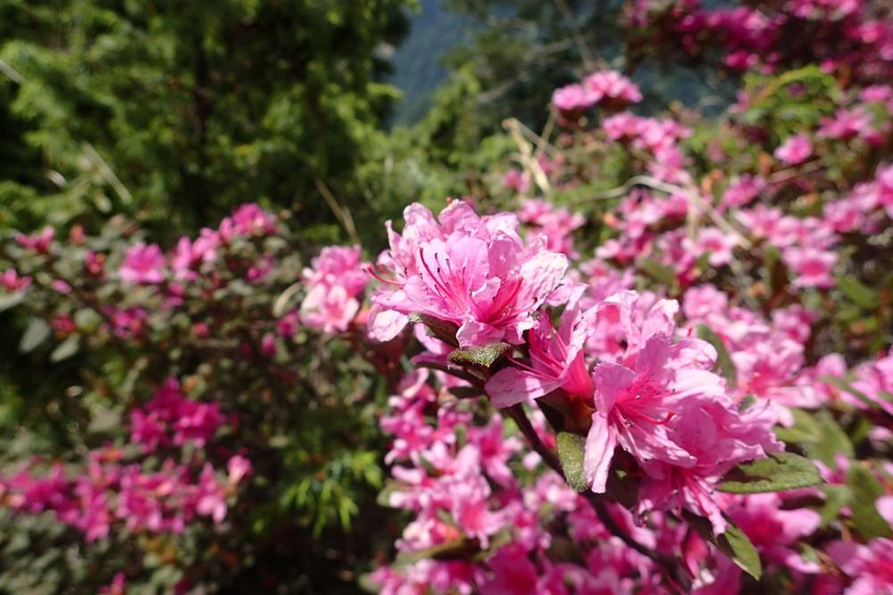 Rhododendron rubropilosum rubropilosum
