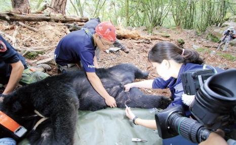 記錄個體及採集臺灣黑熊血液、毛髮等樣本