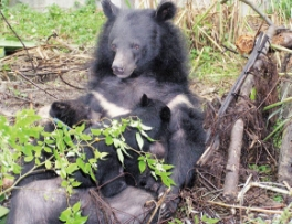 臺灣黑熊為隔年生殖,每次生殖以1-2隻最常見