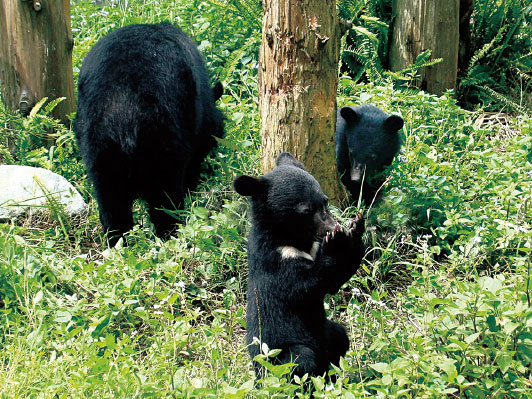 臺灣黑熊估計僅剩下200-600隻