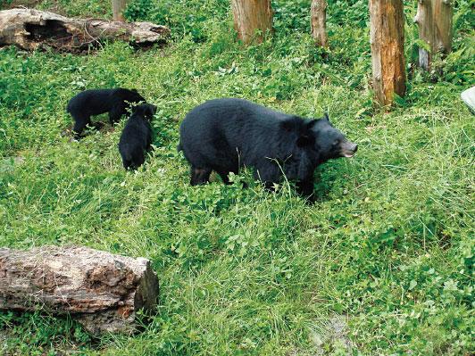臺灣黑熊為瀕臨絕種保育類動物