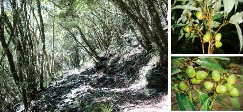 大分山區的殼斗科森林