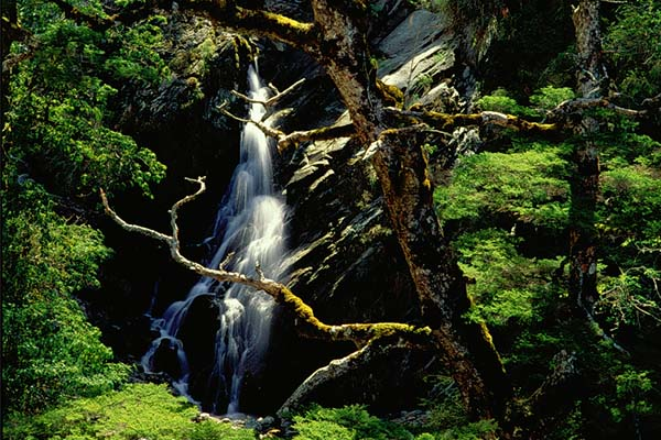 鐵杉與瀑布