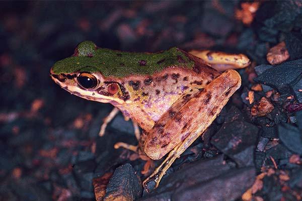 斯文豪氏蛙