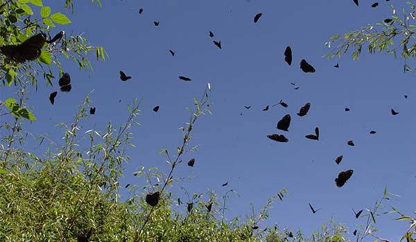 紫斑蝶飛越塔塔加鞍部