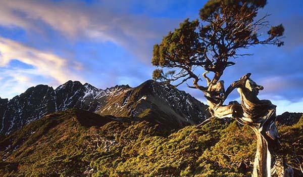 Yushan junipers