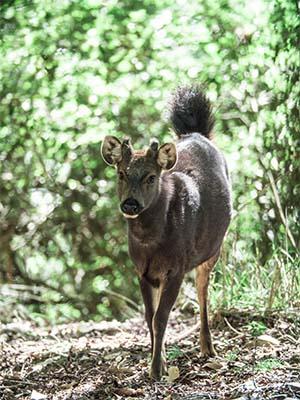 Formosan sambar deer