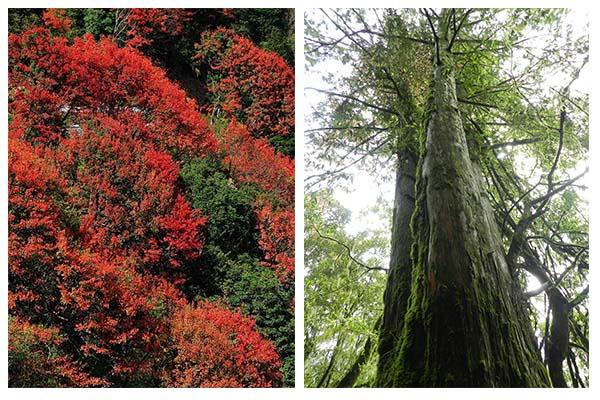 紅檜及臺灣紅榨槭